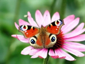 vlinder_op_zonnehoed